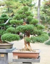 Formowanie i pielęgnacja bonsai