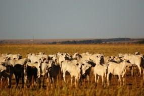 Skup bydła mięsnego