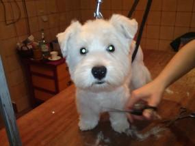 Strzyzenie psów, psi salon, psi fryzjer