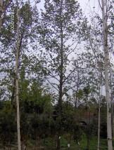 Sprzedaż drzew