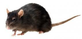 Trucie mysz