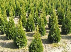 Sprzedaż drzew i krzewów