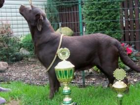 Reproduktor Labrador Retriever